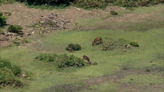 aerial, endemic deer in mageshima, kagoshima, japan - desert island stock videos & royalty-free footage