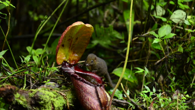 vídeos de stock, filmes e b-roll de endemic mountain tree shrew licking symbiotic pitcher plant - carnivorous plant