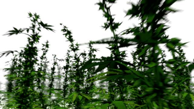 endless marijuana plants middle view - canapa video stock e b–roll