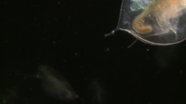 endoscope view of water fleas (daphnia sp.) sony pmw-ex3 full hd video camera with endoscope, horizontal field of view is 3mm and slow motion at 60 fps. - daphnia stock videos and b-roll footage