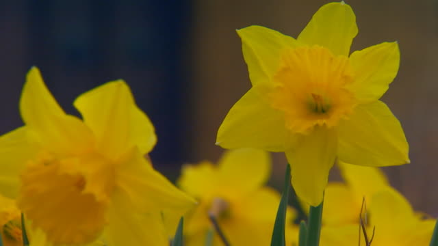 englandclose up of daffodils - おしべ点の映像素材/bロール
