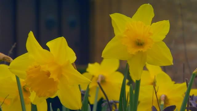 vidéos et rushes de englandclose up of daffodils - étamine