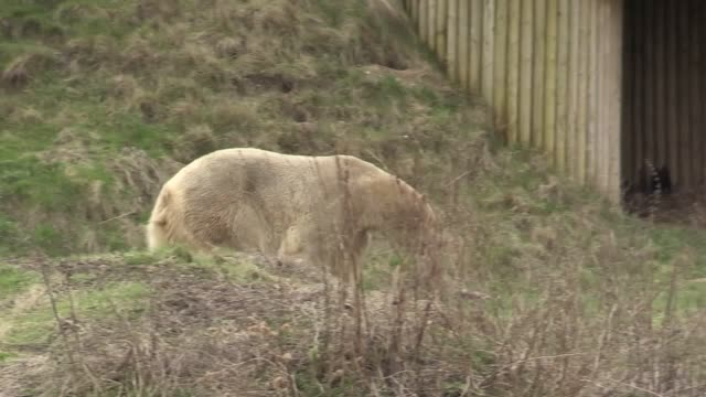 vídeos y material grabado en eventos de stock de england's only polar bear enclosure has welcomed new resident rasputin after yorkshire wildlife park was recommended by a european breeding... - clima polar