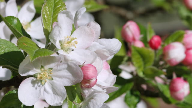 english apple blossom - orchard stock videos & royalty-free footage