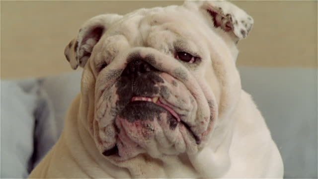 CU, English bulldog, headshot