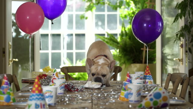 english bulldog on table at bithday party eating birthday cake. - mischief stock videos & royalty-free footage