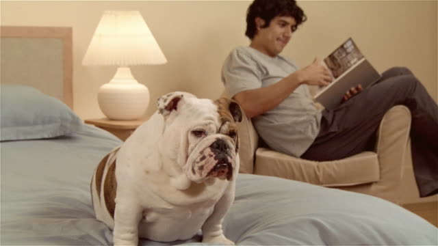 stockvideo's en b-roll-footage met ms, cu, english bulldog sitting on bed, man reading book in armchair, focus on dog - alleen één mid volwassen man