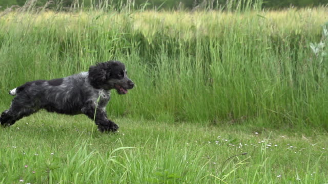 """english cocker spaniel, adult male running on grass, picardy in the north east of france, slow motion"" - spaniel stock videos and b-roll footage"