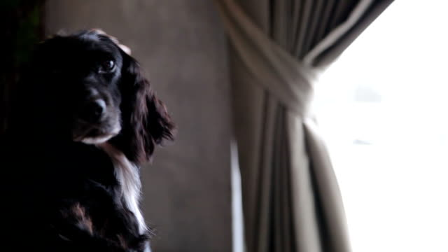 english cocker spaniel dog - spaniel stock videos and b-roll footage