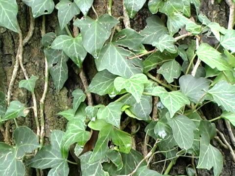 vídeos y material grabado en eventos de stock de ivy inglés - cultura inglesa
