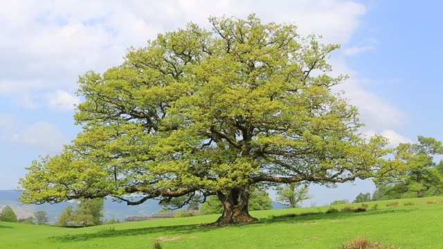 english oak tree in summer colours, (quercus robur), near keswick town, lake district national park, cumbria, england. - oak stock videos and b-roll footage