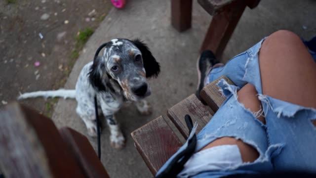 vídeos y material grabado en eventos de stock de abrazos de cachorro de setter inglés y mendigando comida - perro cazador
