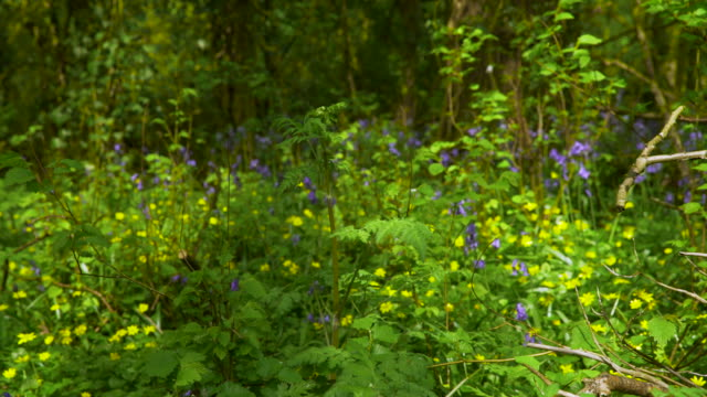 english woodland in bloom - lush stock videos & royalty-free footage