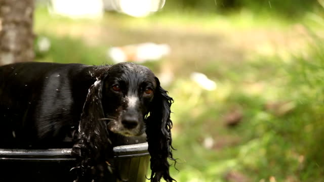 english working cocker spaniel drying in sun after wash - spaniel stock videos and b-roll footage