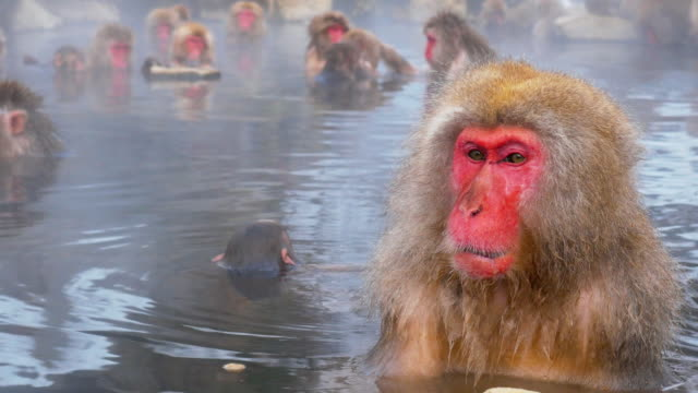 snow monkey enjoy hot spring - spring flowing water stock videos and b-roll footage