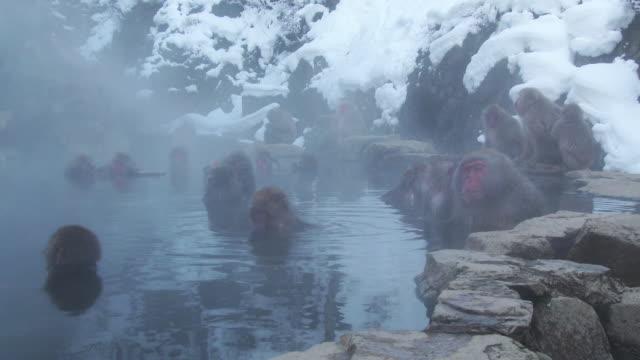 SNOW MONKEY enjoy hot spring