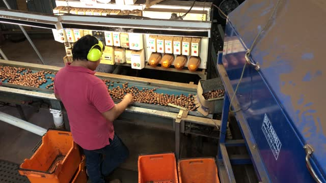 enrique parades, a macadamia farmer checks nuts in his de-husking shed at bunyabah farm on june 28, 2021 in wollongbar, australia. approx. 12,000... - agriculture stock videos & royalty-free footage
