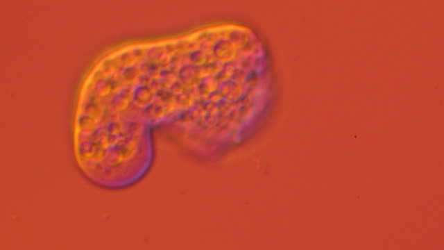entamoeba histolytica parasite - biology stock videos & royalty-free footage