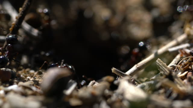 entrance of the anthill macro photo ant - formica video stock e b–roll