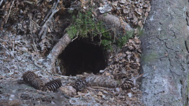 cu entrance to animal burrow,  alaska, 2009 - roditore video stock e b–roll