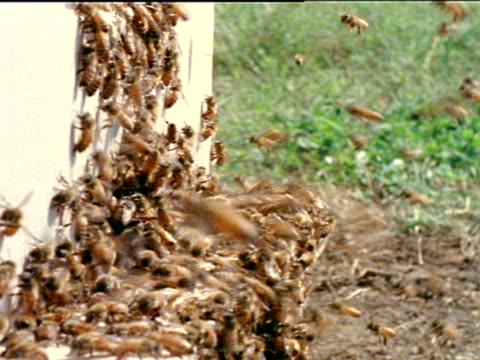 vídeos de stock, filmes e b-roll de entrance to man-made wooden box hive w/ honey bees swarming out of opening. bees crawling up front of box hive, others swarming out of box. bees... - invertebrado