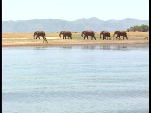 elephant paralysis; cf tape no longer available zimbabwe, lake kariba lms elephant shaking head & trumpeting sof cms elephant using trunk to pick... - audio available bildbanksvideor och videomaterial från bakom kulisserna