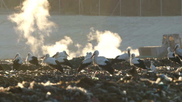 Environment/ White storks (Ciconia ciconia) resting in rubbish dump during migration against sun, with garbage in background