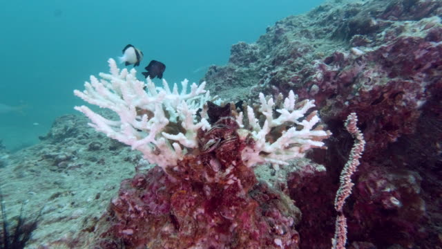 environmental damage of coral bleaching progression - coral cnidarian stock videos & royalty-free footage