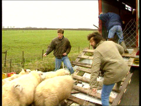 Floods Force Evacuation TMS Sheep along PAN LR as into lorry BV Sheep manhandled into lorry INT BV Male shopworker takes Gouda cheese off shelf and...
