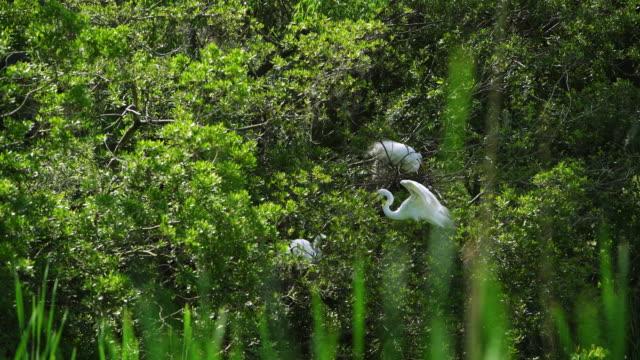 vídeos de stock e filmes b-roll de épica 4 k garça-branca-grande, garça branca grande, ninhos no pântano - garça branca grande garça branca
