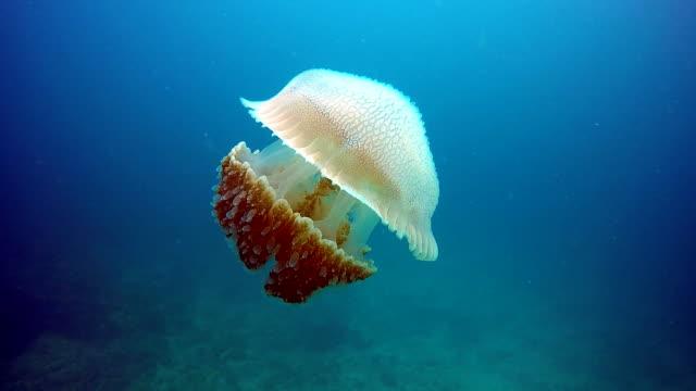 Epic Nature Underwater: Common Jellyfish (Thysanostoma thysanura).