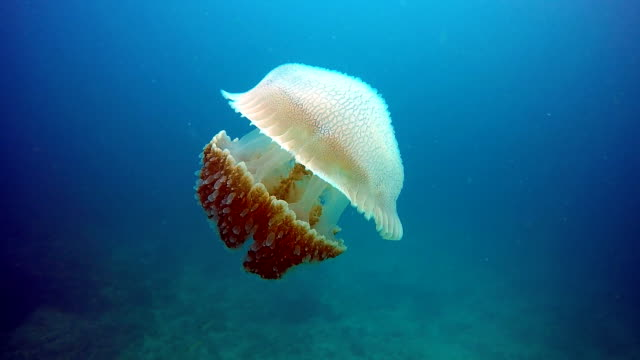 epic nature underwater: common jellyfish (thysanostoma thysanura). - animals in the wild stock videos & royalty-free footage
