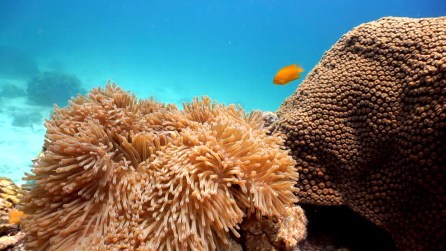 Epic Nature Underwater: Magnificent Anemone (Heteractis magnifica) with Skunk Anemonefish (Amphiprion ephippium) Clownfish.
