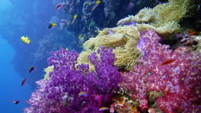 epic nature underwater magnificent sea anemone (heteractis magnifica) clown fish and purple alcyonarian coral - corallo molle corallo video stock e b–roll