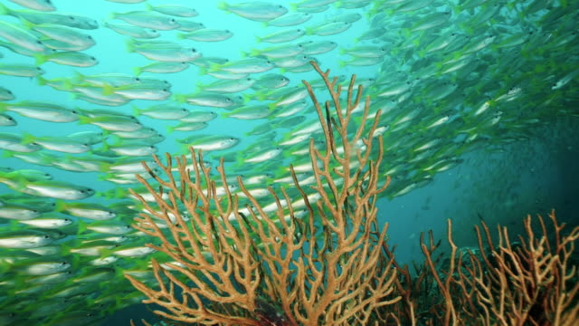 epic nature underwater massive school of fish above coral reef - gorgonian coral stock videos & royalty-free footage
