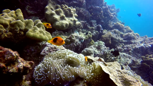 epic nature underwater:  rare tomato anemone clownfish (amphiprion ephippium). - symbiotic relationship stock videos & royalty-free footage