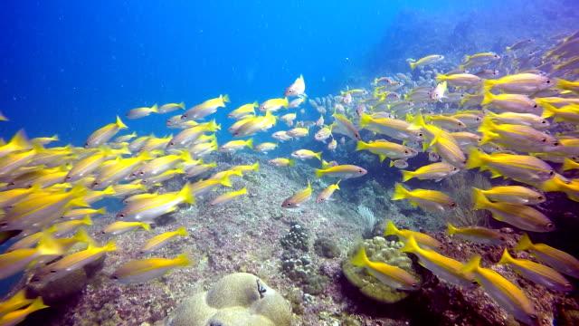 epic nature underwater: shoal of two spot snapper (lutjanus biguttatus) and bigeye snapper (lujanus lutjanus) fish. - animal behaviour stock videos & royalty-free footage