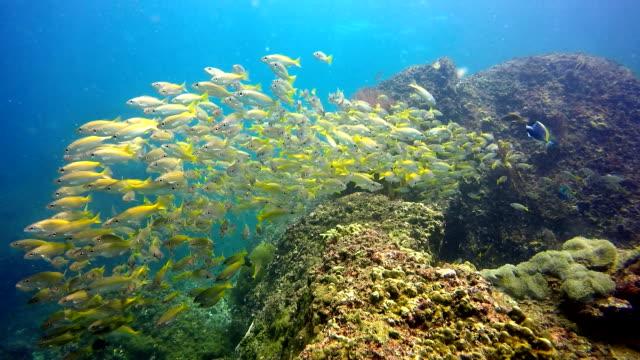 epische natur unterwasser: untiefe von zwei spot-schnapper (lutjanus biguttatus) und großaugen-schnapper (lutjanus lujanus) fischen. - animal behaviour stock-videos und b-roll-filmmaterial