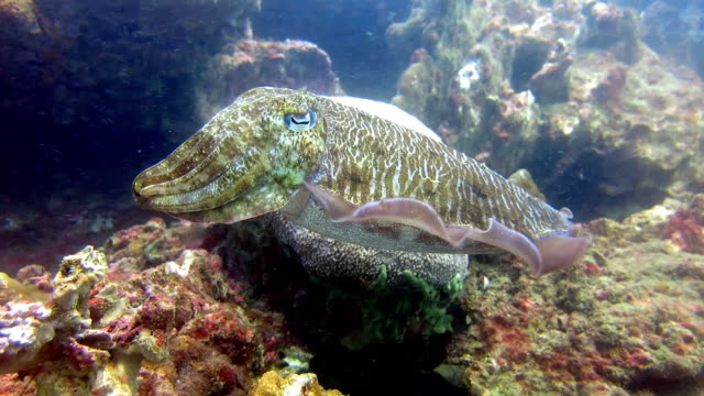 epic underwater nature: pharoah cuttlefish (sepiida) cephalopod.  hin bida, thailand. - cuttlefish stock videos and b-roll footage