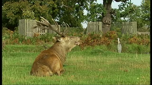 epping forest residents complain after private hunting club given license to shoot deer r06101110 / london bushy park ext red deer stag sitting in... - bracken stock videos and b-roll footage