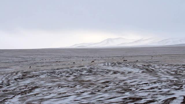 equus kiang (tibeten wild ass) at hoh xil nature reserve - tibetan plateau stock videos & royalty-free footage