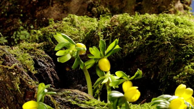 Eranthis flowers, timelapse