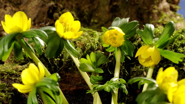 eranthis flowers, timelapse - ラナンキュラス点の映像素材/bロール
