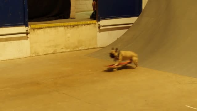 Eric aka Eroc the skateboarding dog at the NASS Festival at the Royal Bath and West Showground near Shepton Mallet