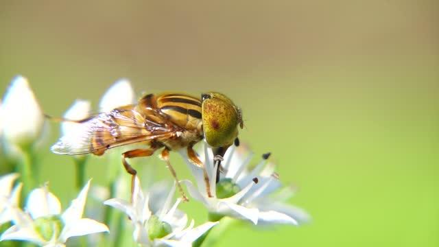 eristalis arvorum chinese chive flower under sunshine - chive stock videos & royalty-free footage