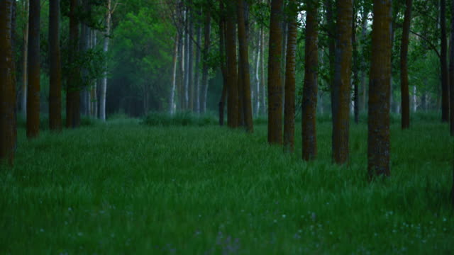 vídeos de stock, filmes e b-roll de populus - chopo (populus nigra), escalona, toledo, castilla - la mancha, spain, europe - árvore de folha caduca