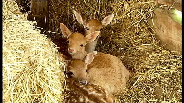 essex stansted mounfitchet castle overlay tudor music** three rescued fawns in pen general views of recreation of norman village in mounfitchet... - fawn stock videos & royalty-free footage