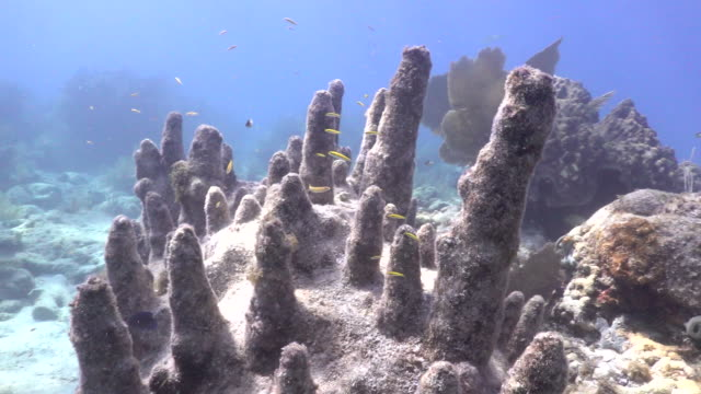 establishing pillar coral at looe key coral reef in the florida keys national marine sanctuary. - reef stock videos & royalty-free footage
