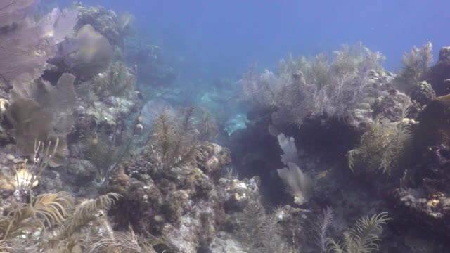 establishing shot of coral at looe key coral reef in the florida keys national marine sanctuary. - reef stock videos & royalty-free footage
