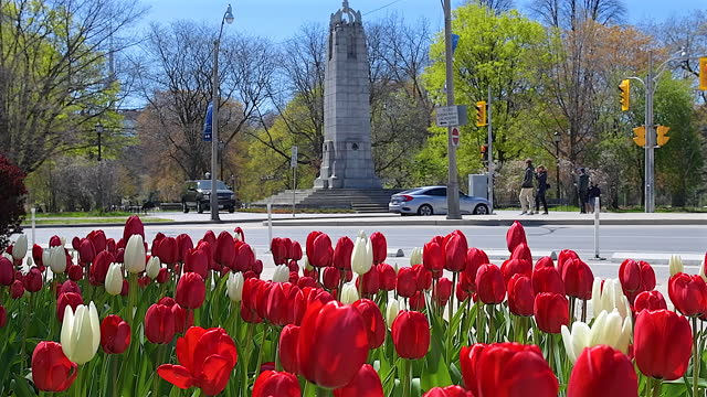 establishing shot of the queen's park cenotaph framed in tulip flowers at the beginning of the springtime season on may 2 in toronto, canada. the... - flower head stock videos & royalty-free footage